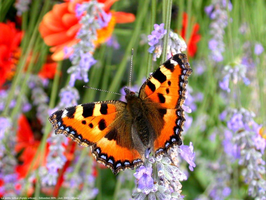 papillon_003
